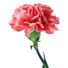 ροζ γαρύφαλλα